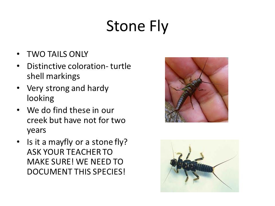 Stone Fly TWO TAILS ONLY Distinctive coloration- turtle shell markings