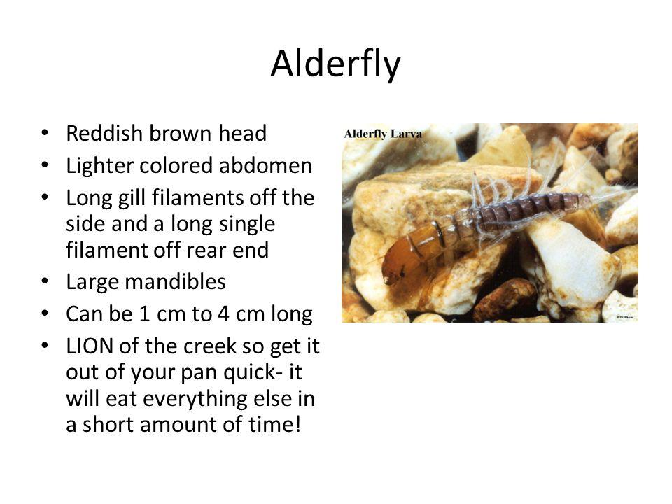 Alderfly Reddish brown head Lighter colored abdomen