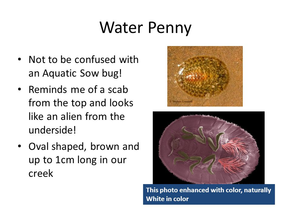 Water Penny Not to be confused with an Aquatic Sow bug!