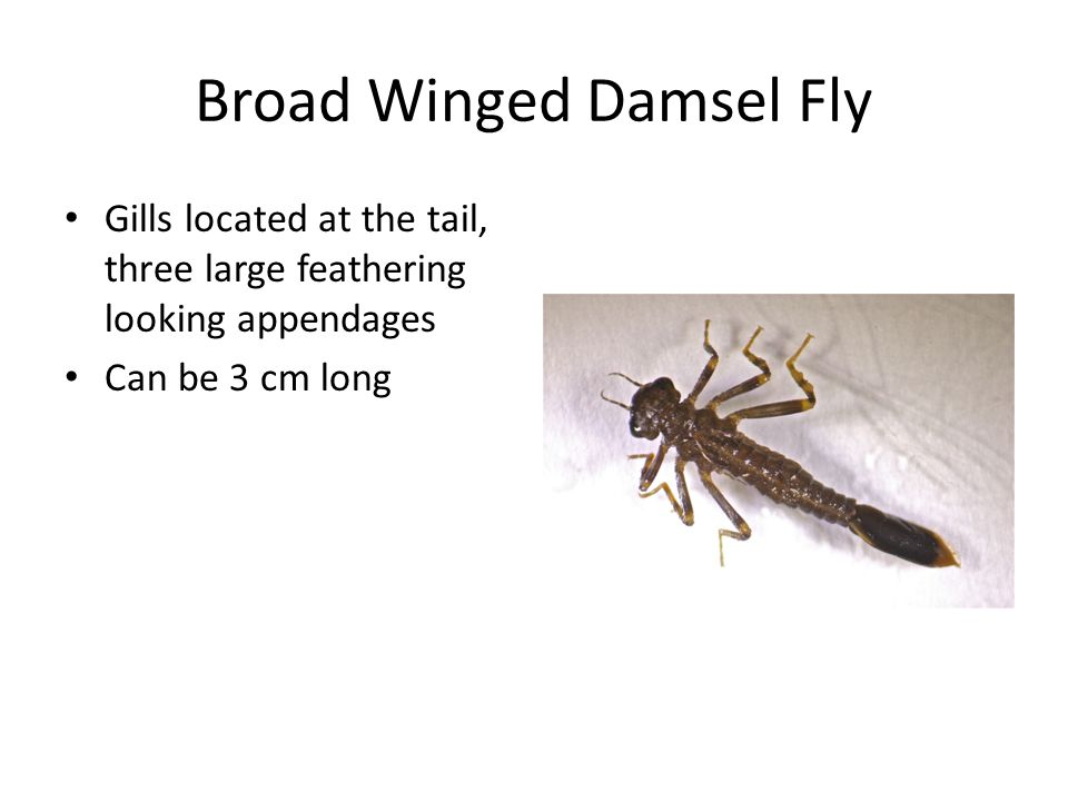 Broad Winged Damsel Fly