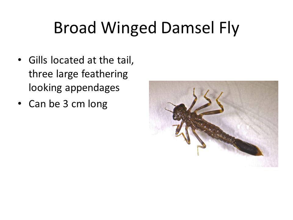 Broad Winged Damsel Fly