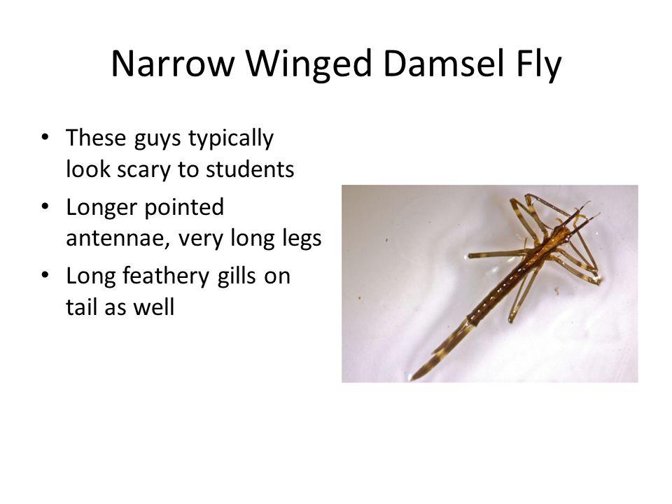 Narrow Winged Damsel Fly