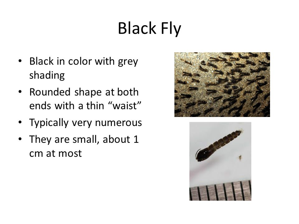 Black Fly Black in color with grey shading