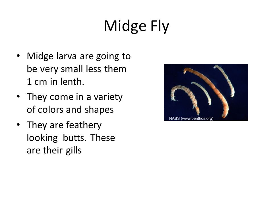 Midge Fly Midge larva are going to be very small less them 1 cm in lenth. They come in a variety of colors and shapes.