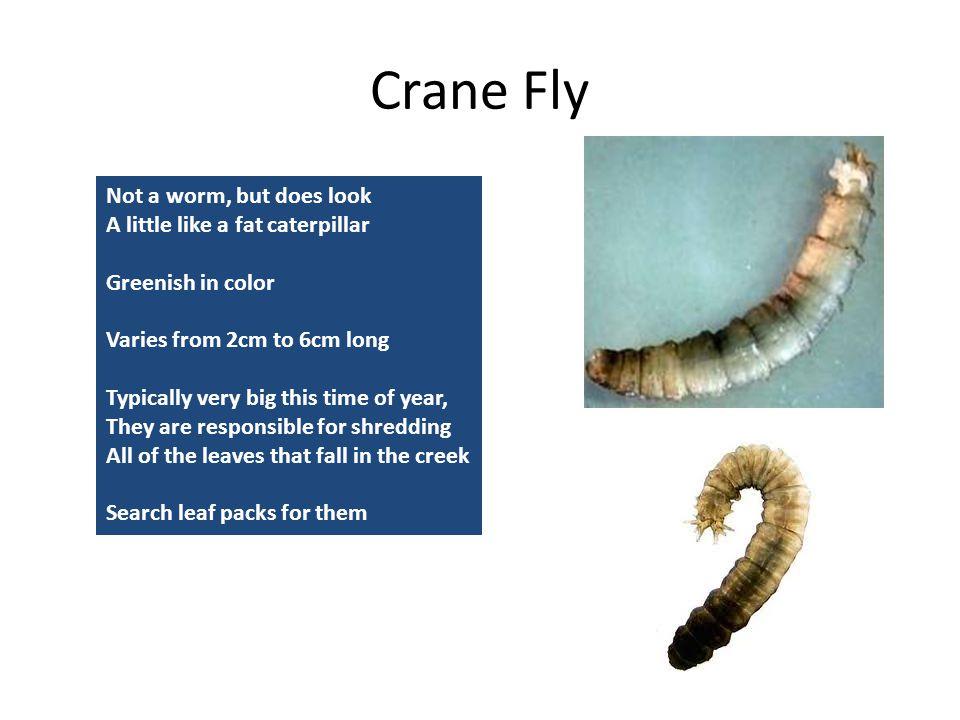 Crane Fly Not a worm, but does look A little like a fat caterpillar