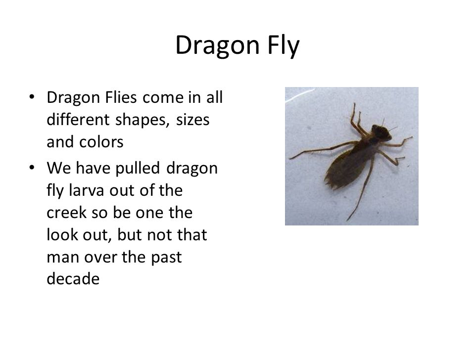Dragon Fly Dragon Flies come in all different shapes, sizes and colors