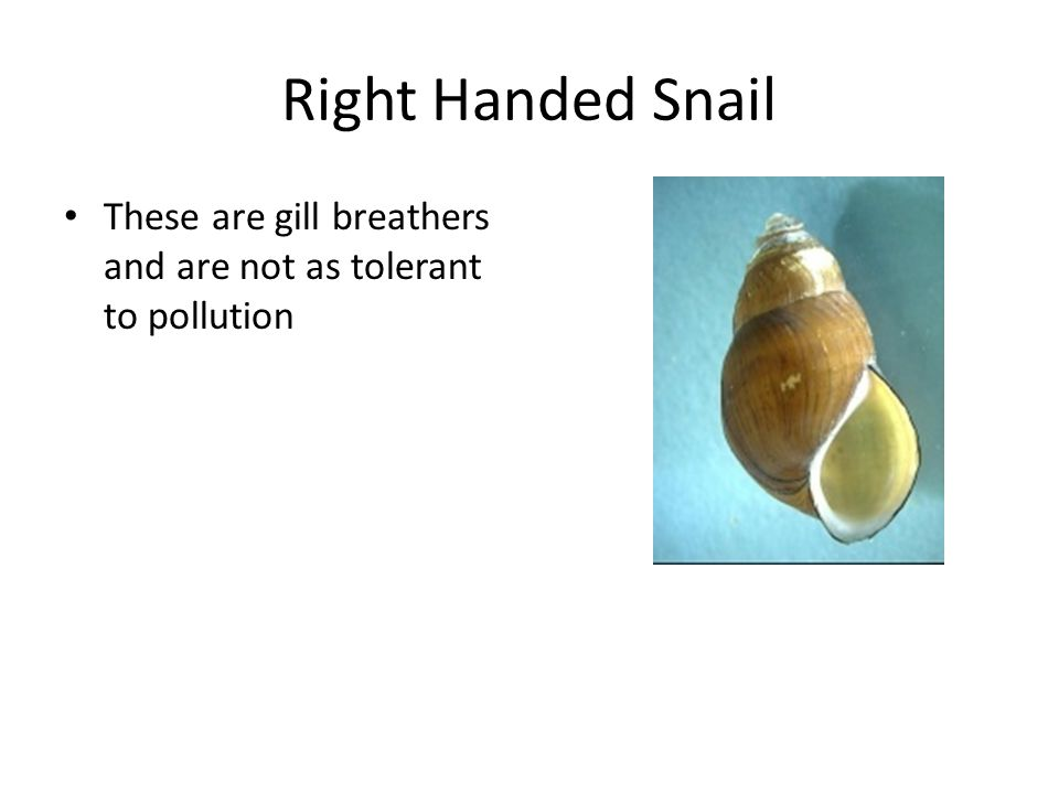 Right Handed Snail These are gill breathers and are not as tolerant to pollution