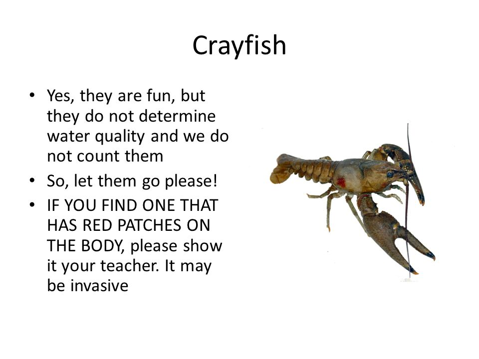 Crayfish Yes, they are fun, but they do not determine water quality and we do not count them. So, let them go please!