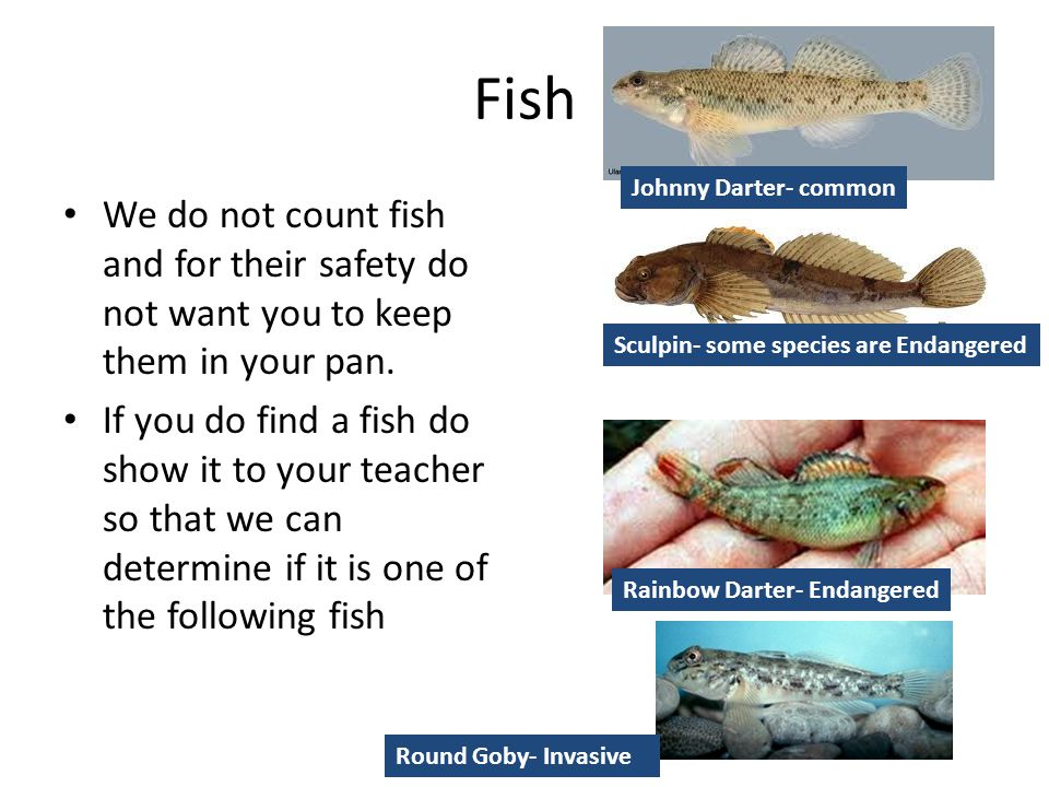 Fish Johnny Darter- common. We do not count fish and for their safety do not want you to keep them in your pan.