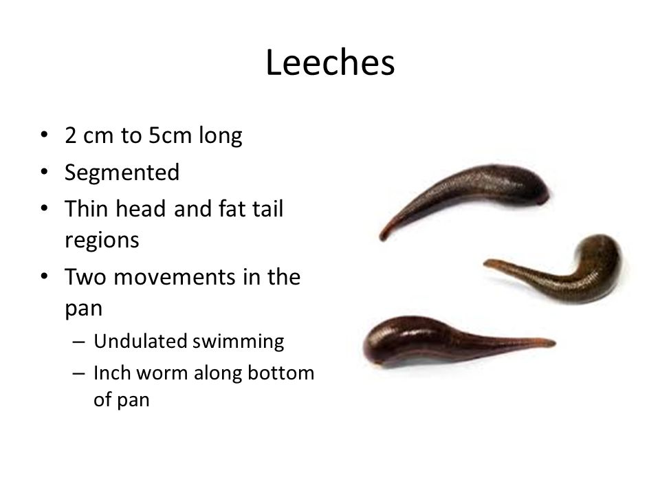 Leeches 2 cm to 5cm long Segmented Thin head and fat tail regions