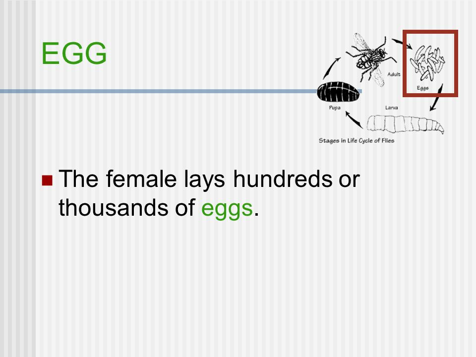 EGG The female lays hundreds or thousands of eggs.