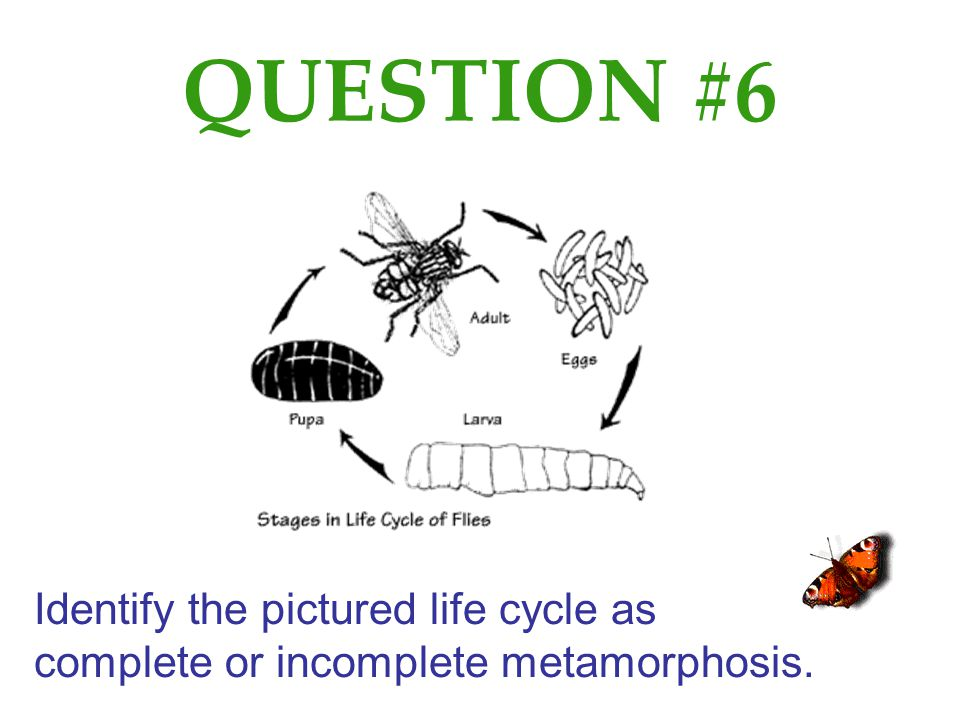 QUESTION #6 Identify the pictured life cycle as complete or incomplete metamorphosis.