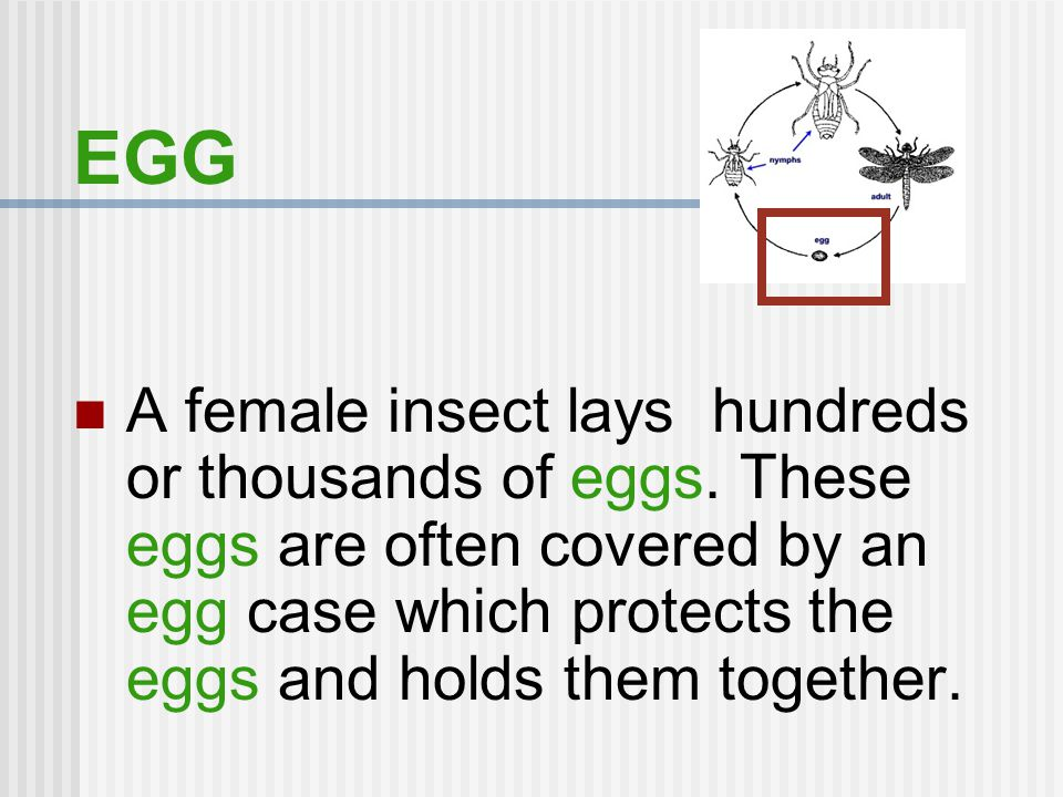 EGG A female insect lays hundreds or thousands of eggs.