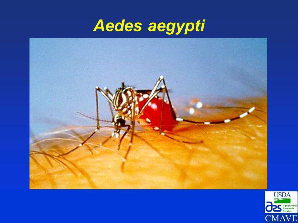 Aedes aegypti 8