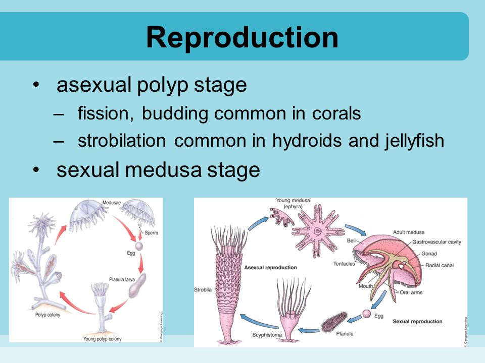 Reproduction asexual polyp stage sexual medusa stage