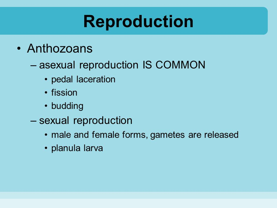Reproduction Anthozoans asexual reproduction IS COMMON