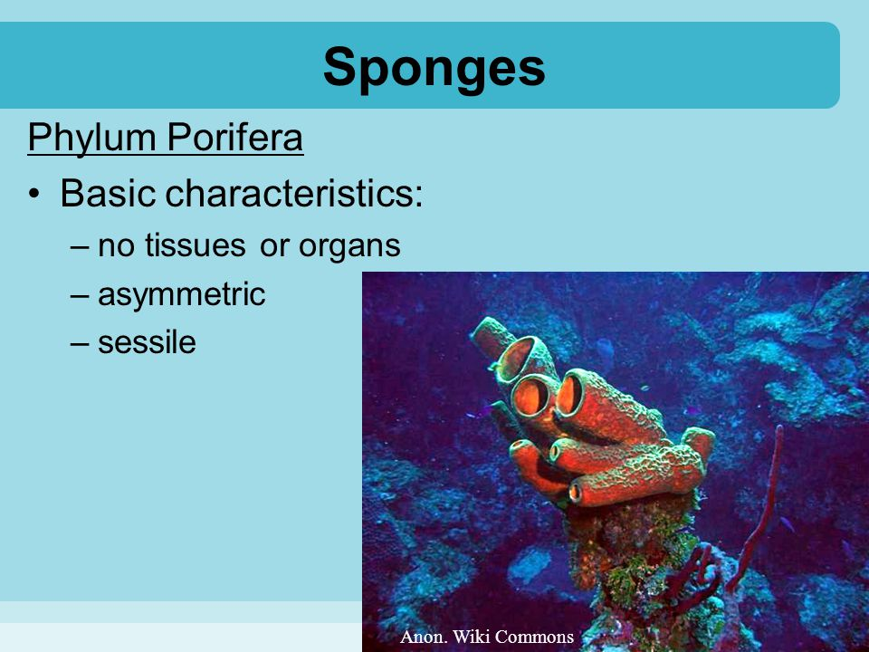 Sponges Phylum Porifera Basic characteristics: no tissues or organs