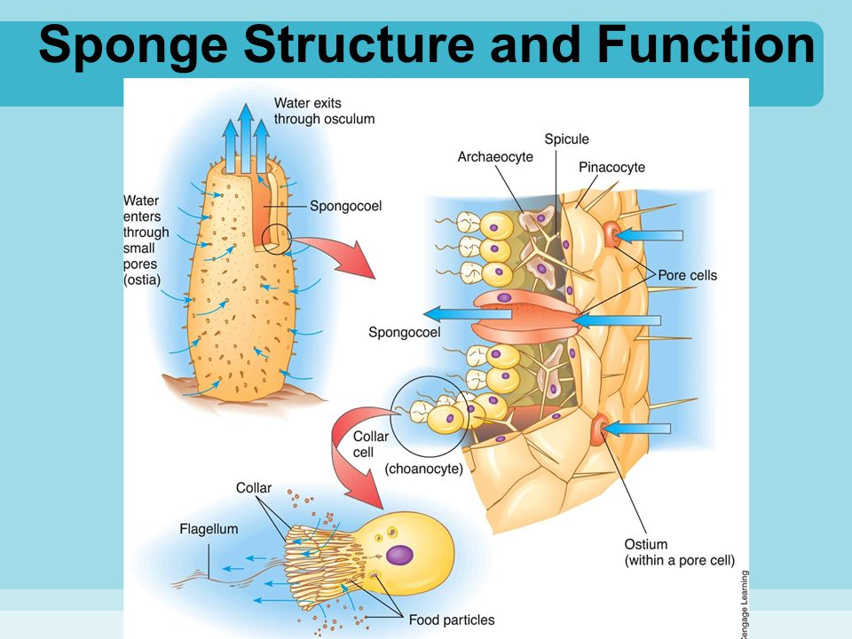 Sponge Structure and Function
