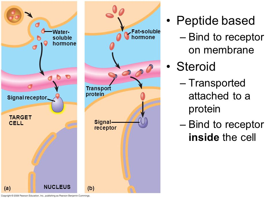 Peptide based Steroid Bind to receptor on membrane