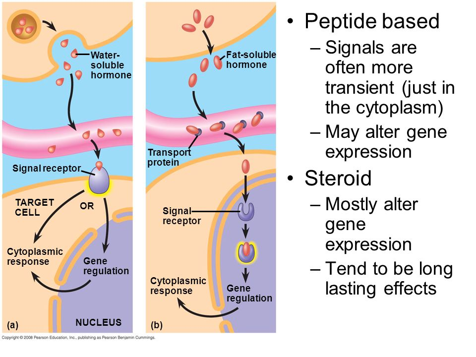 Peptide based Signals are often more transient (just in the cytoplasm) May alter gene expression. Steroid.