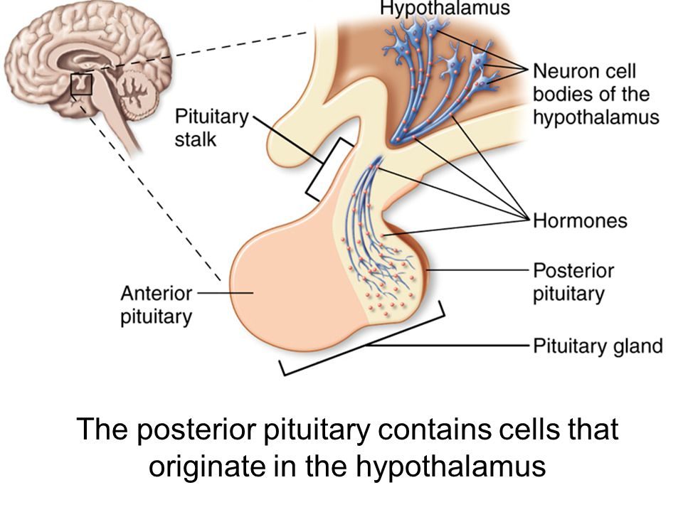 The posterior pituitary contains cells that originate in the hypothalamus