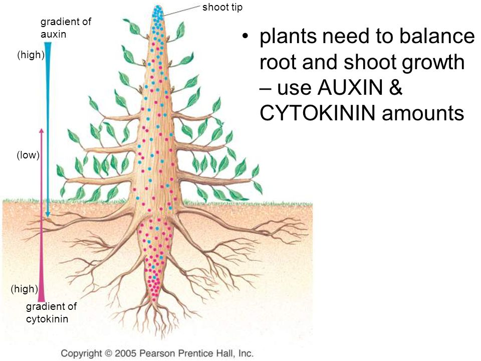 shoot tip gradient of. auxin. plants need to balance root and shoot growth – use AUXIN & CYTOKININ amounts.