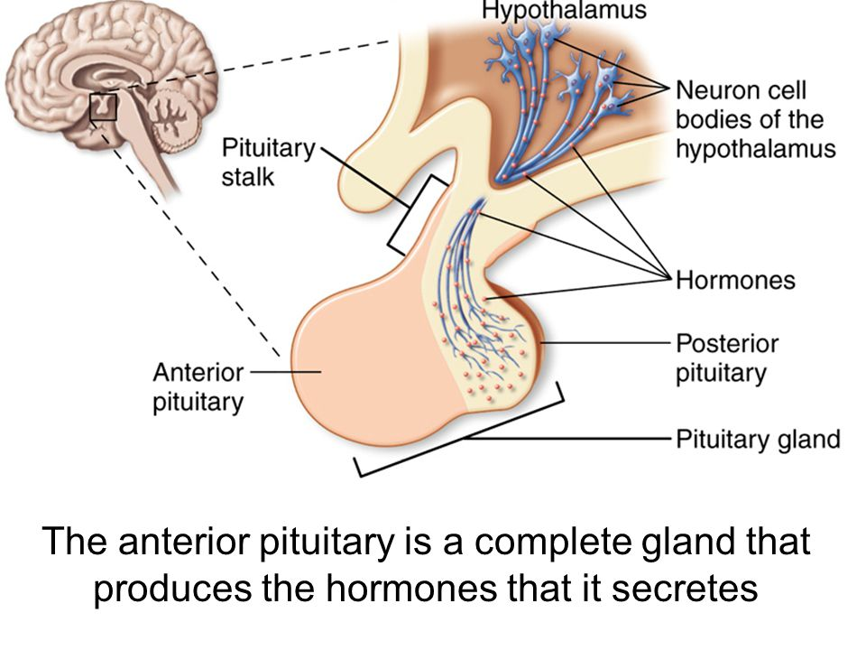 The anterior pituitary is a complete gland that produces the hormones that it secretes
