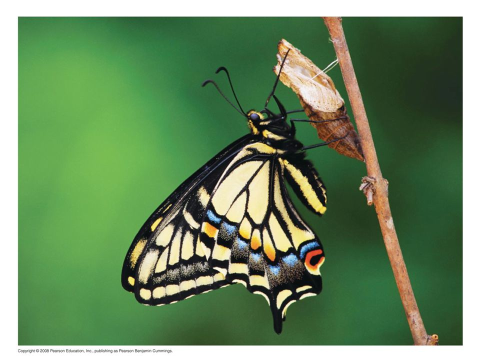 Figure 45.1 What role do hormones play in transforming a caterpillar into a butterfly