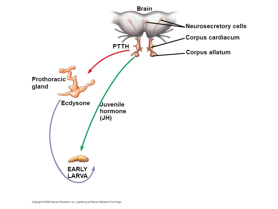 Brain Neurosecretory cells Corpus cardiacum PTTH Corpus allatum