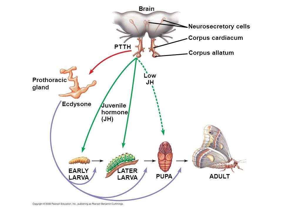 Brain Neurosecretory cells Corpus cardiacum PTTH Corpus allatum Low JH