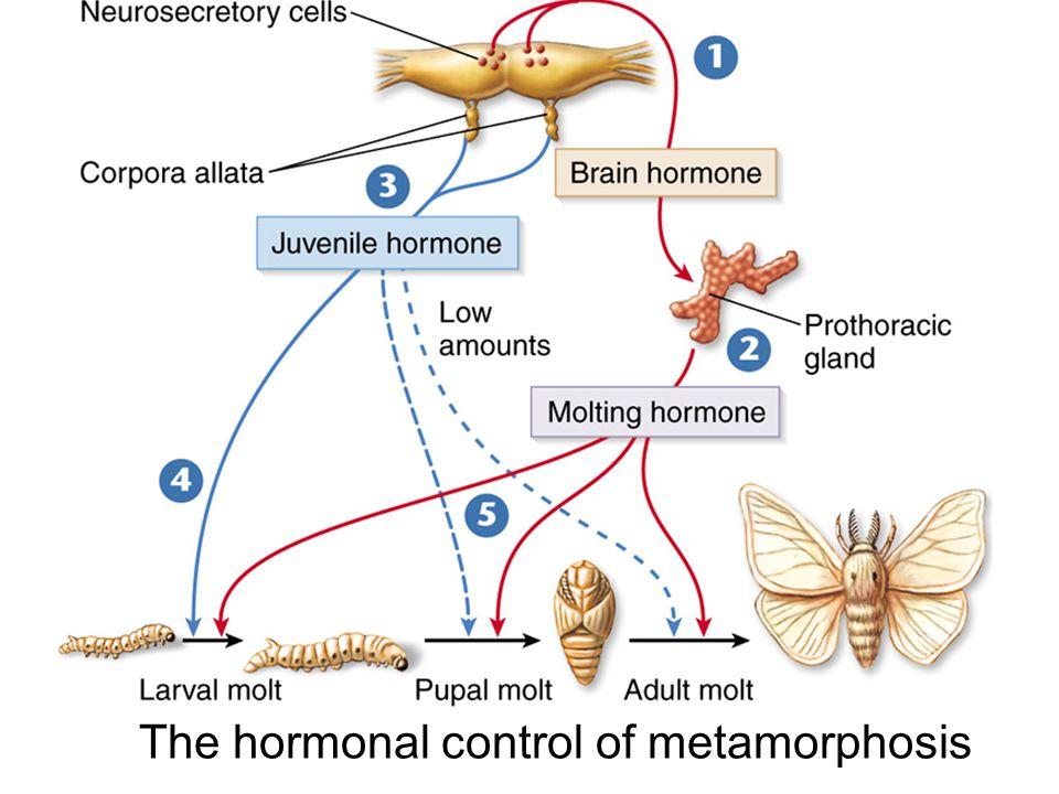 The hormonal control of metamorphosis
