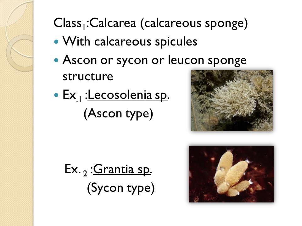 Class1:Calcarea (calcareous sponge)