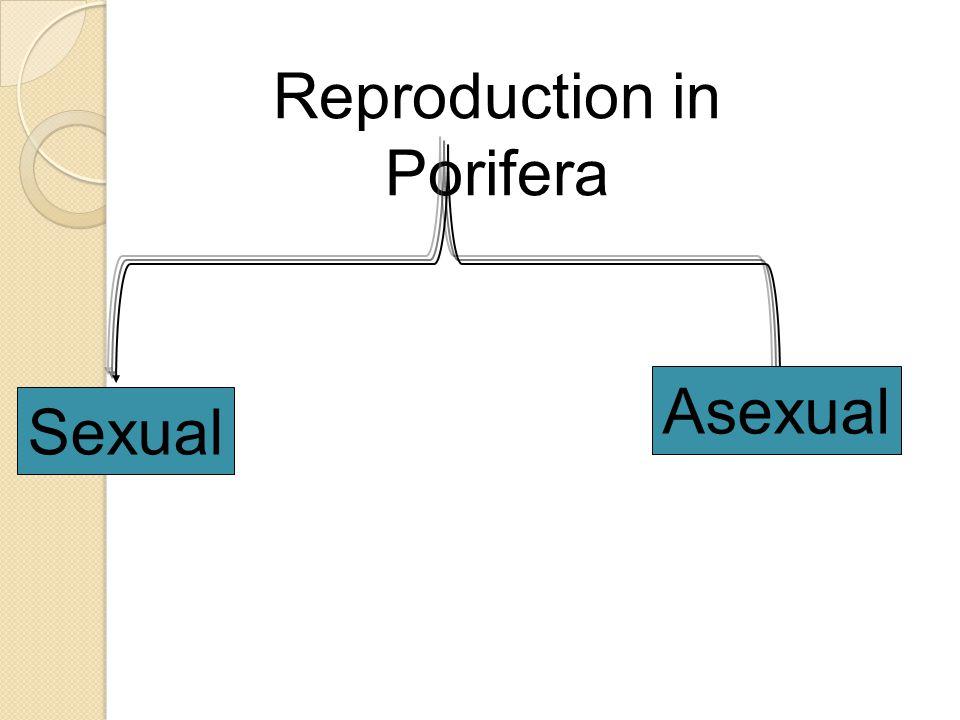 Reproduction in Porifera