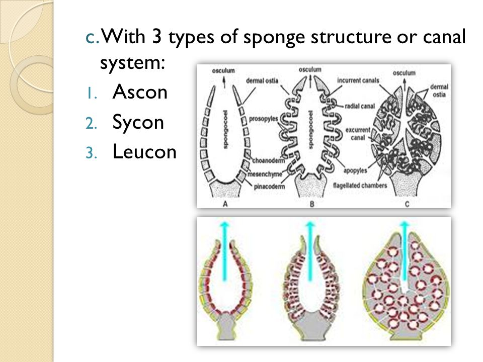 c. With 3 types of sponge structure or canal system: