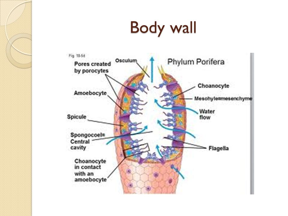 Body wall