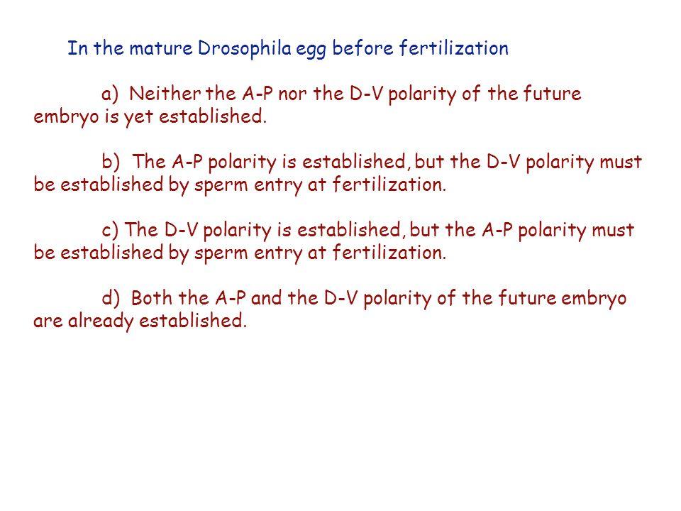 In the mature Drosophila egg before fertilization