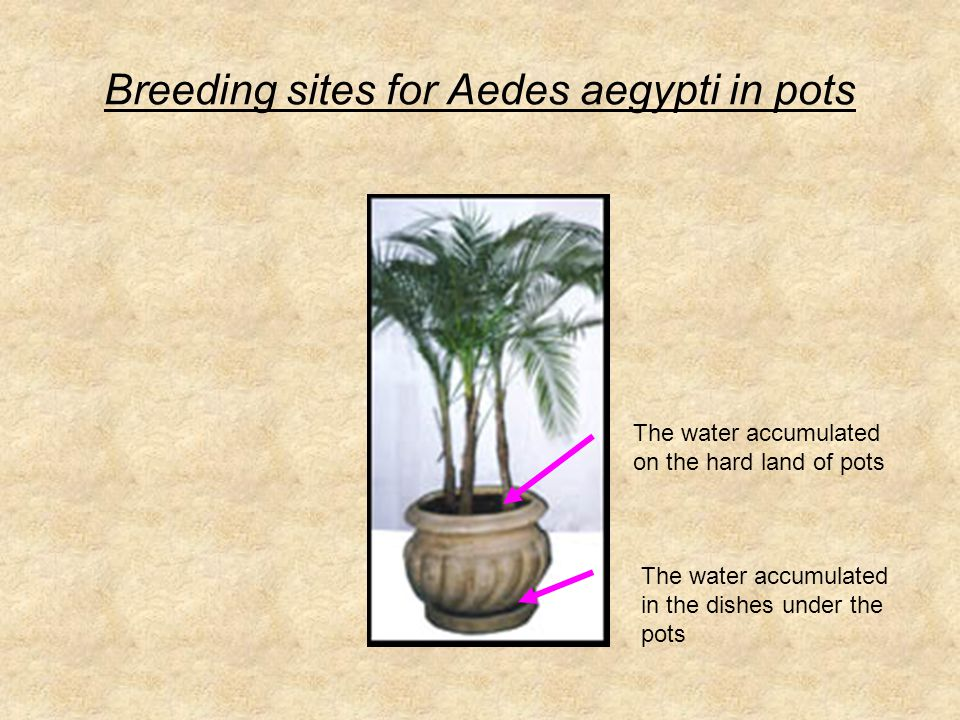 Breeding sites for Aedes aegypti in pots