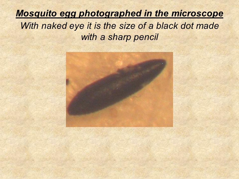 Mosquito egg photographed in the microscope With naked eye it is the size of a black dot made with a sharp pencil