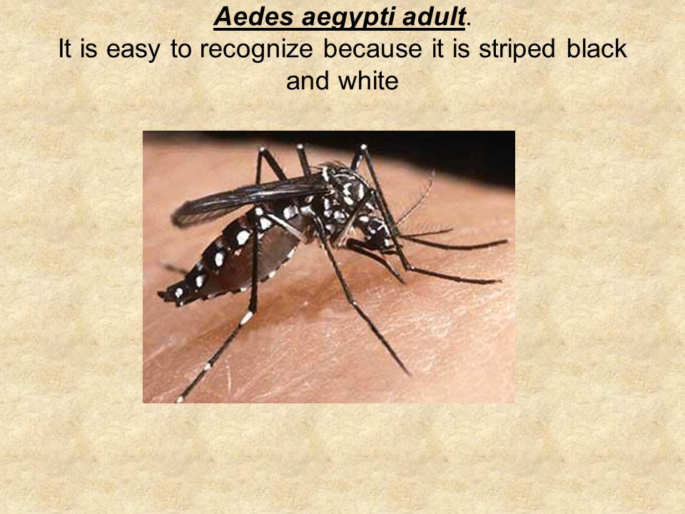 Aedes aegypti adult. It is easy to recognize because it is striped black and white