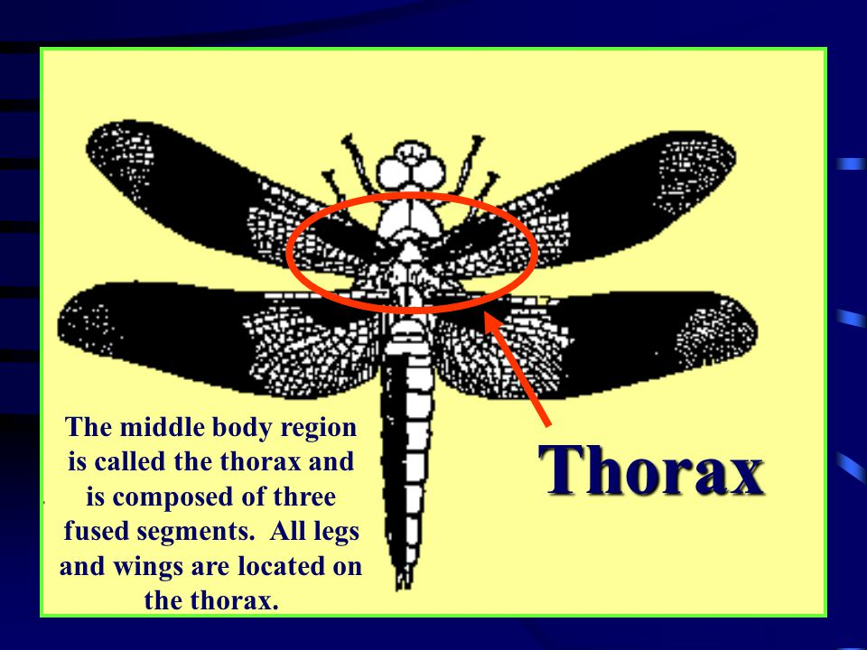 Thorax Picture of bodyparts
