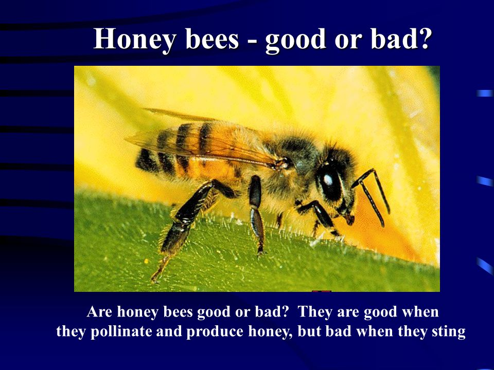 Honey bees - good or bad. Are honey bees good or bad.