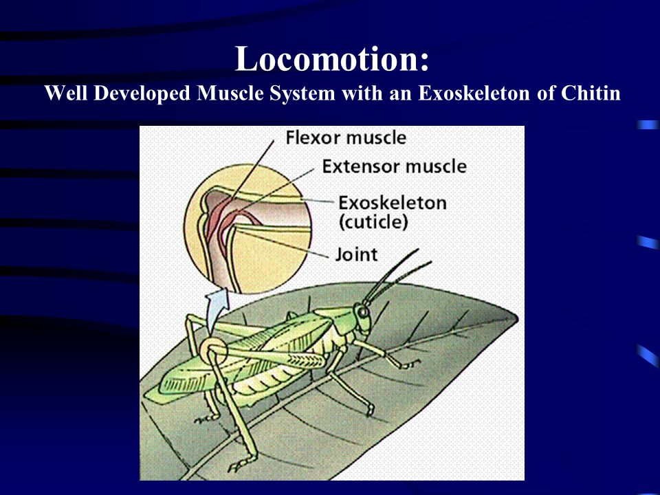 Locomotion: Well Developed Muscle System with an Exoskeleton of Chitin