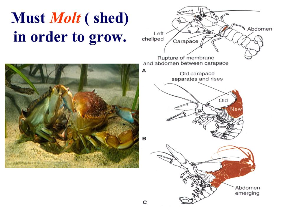 Must Molt ( shed) in order to grow.