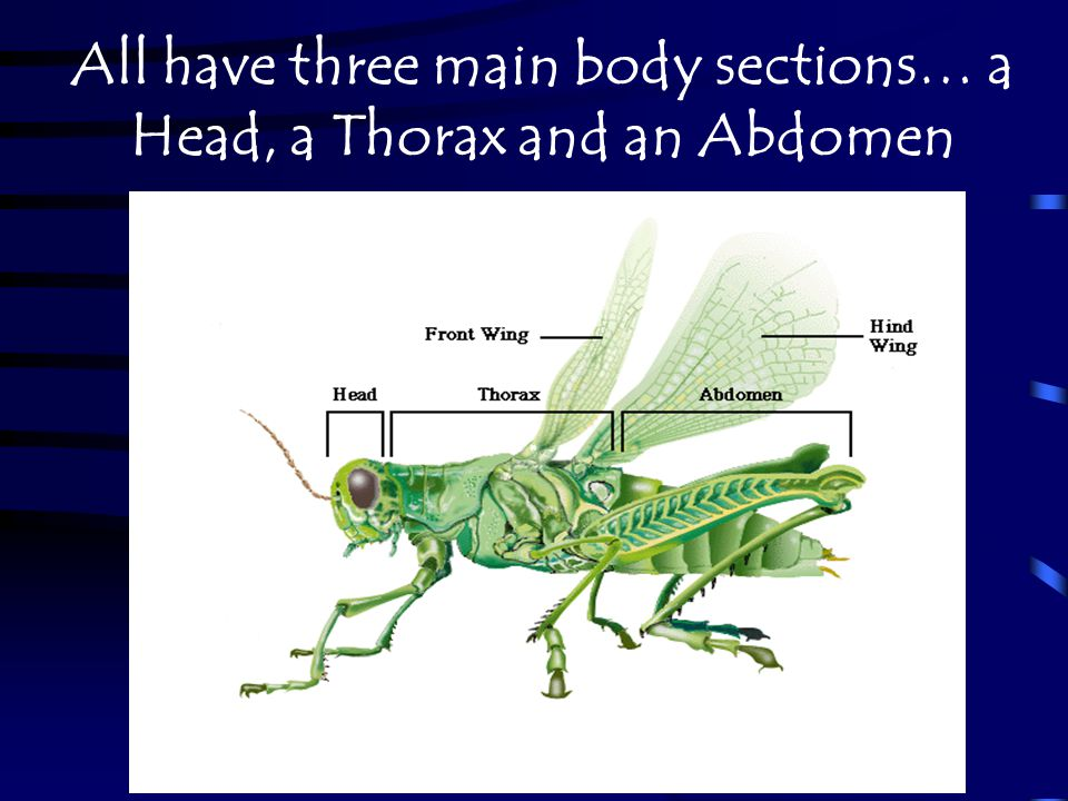 All have three main body sections… a Head, a Thorax and an Abdomen