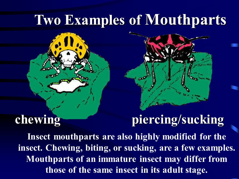 Insect mouthparts are also highly modified for the