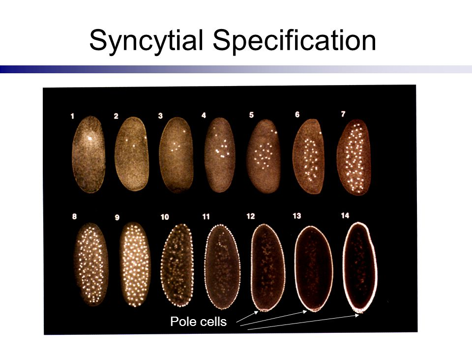 Syncytial Specification
