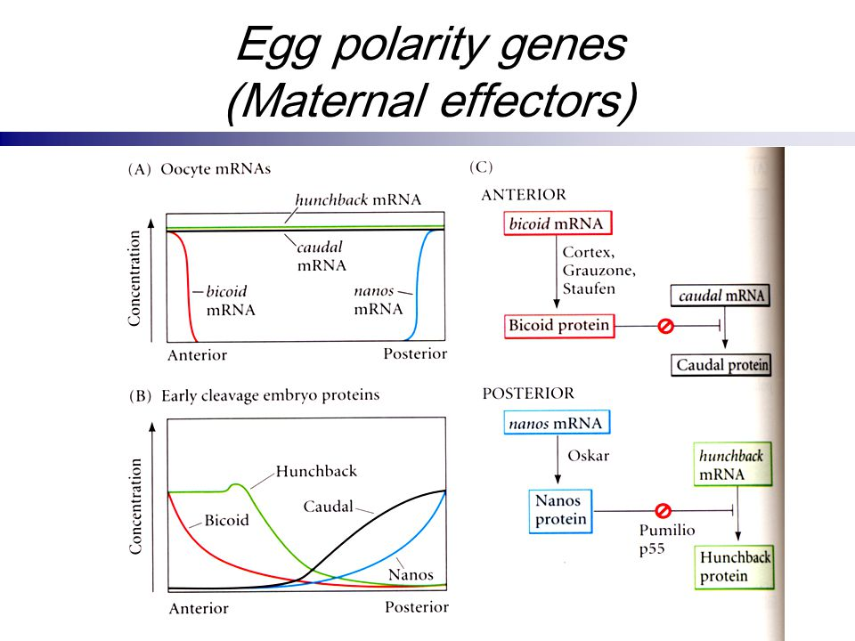 Egg polarity genes (Maternal effectors)
