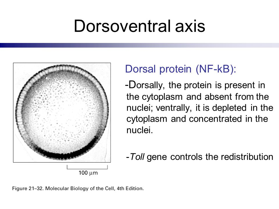 Dorsoventral axis Dorsal protein (NF-kB):