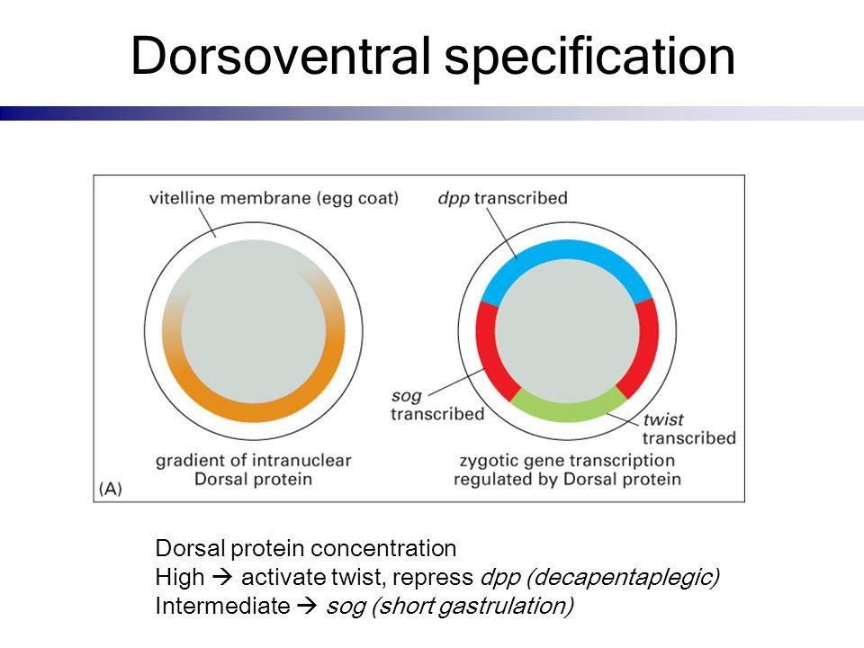 Dorsoventral specification