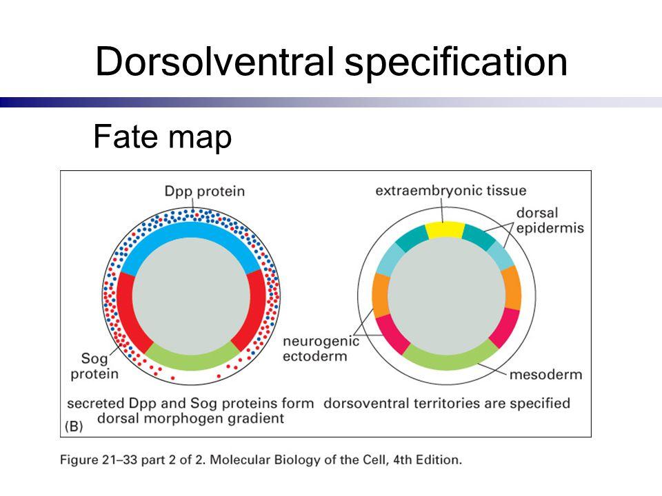 Dorsolventral specification